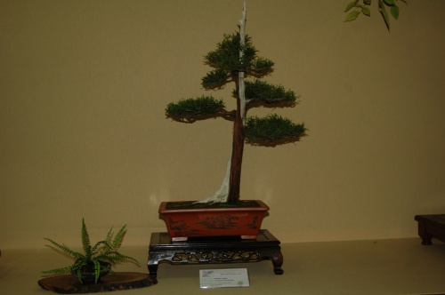 Bonsai 7056 - aebonsai