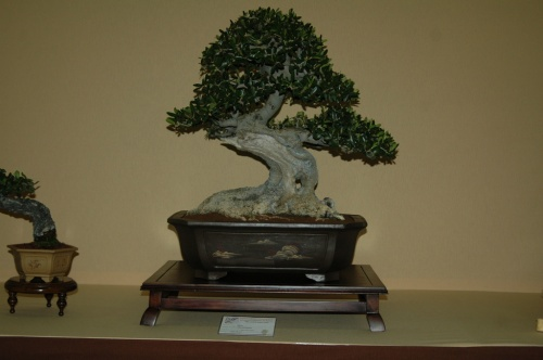 Bonsai 7064 - aebonsai