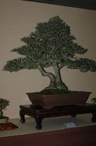 Bonsai 7084 - aebonsai