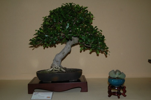 Bonsai Ficus Triangularis, Bonsai Castello - aebonsai