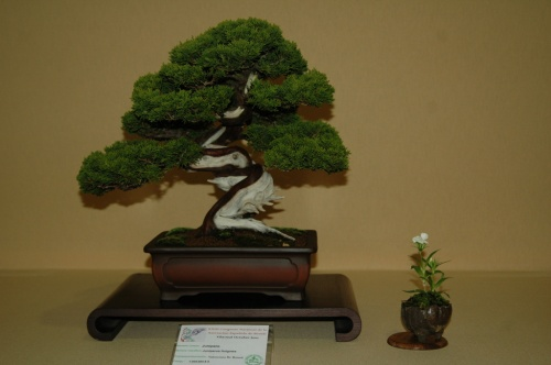 Bonsai Juniperus Itoigowa, Asociacion Valenciana de Bonsai - aebonsai