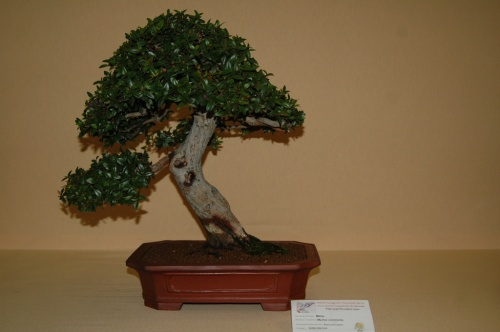 Bonsai Mirto de Pascual Casino - aebonsai