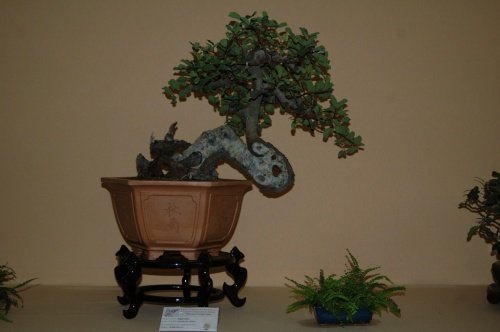 Bonsai Algarrobo de Pascual Casino - aebonsai
