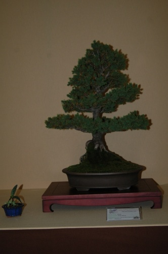Bonsai Picea Glauca - Bonsai Ribera Baixa Sueca - aebonsai