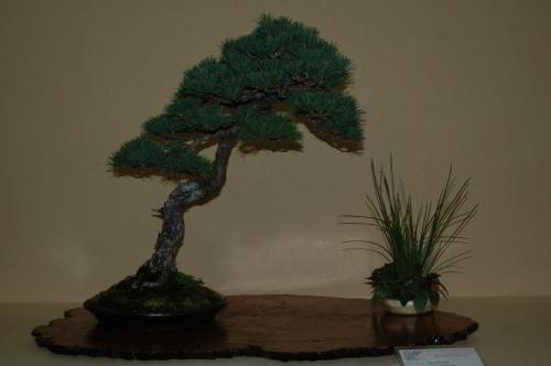 Bonsai Pino Pentafila de Manuel Diaz - Pinus Pentaphylla - aebonsai