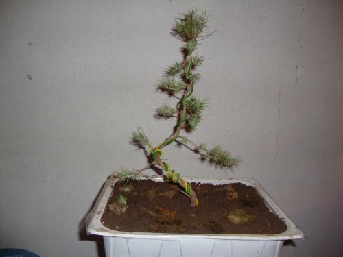 Bonsai pino halephensis - javel