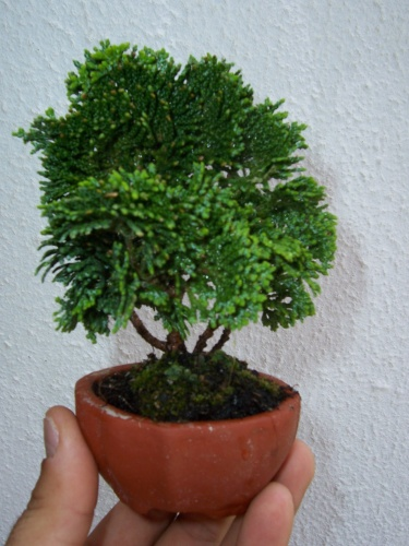 Bonsai chamaeparis obtusa - puce