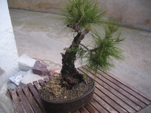 Bonsai pino carrasco en maceta - miguel angel moreno