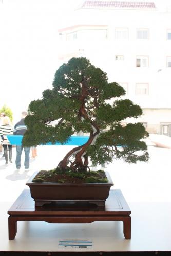 Bonsai Juniperus - Junipero Sargentii - torrevejense