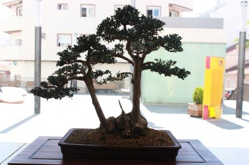 Bonsai Olea Europaea Silvestris - Alvaro Vinal - torrevejense