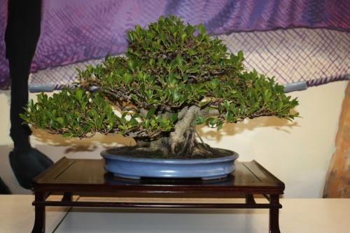 Bonsai Ficus Retusa de Jaume Canals - torrevejense