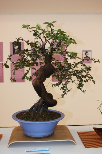 Bonsai Membrillero Chino de Novelda Club Bonsai - torrevejense