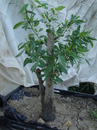 Bonsai almendro 2 - javel