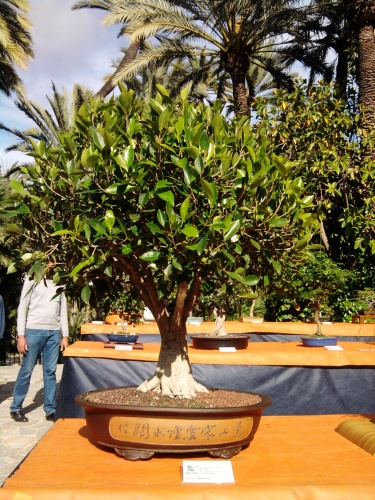 Bonsai Ficus Retusa de Francisco Agullo Torres - ilicitano
