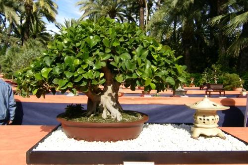 Bonsai Ficus Retusa de Jorge Blasco Vicente - ilicitano