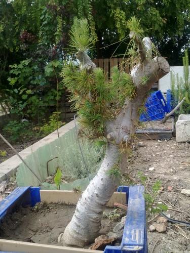 Bonsai pino alephensis - javel