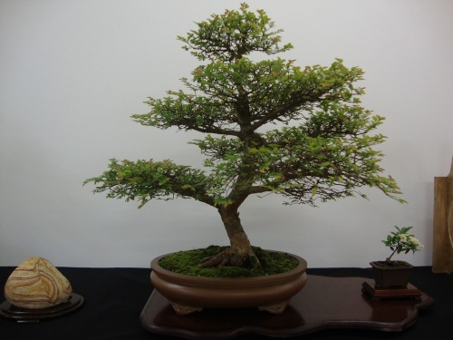 Bonsai 8700 - Bonsai Safor
