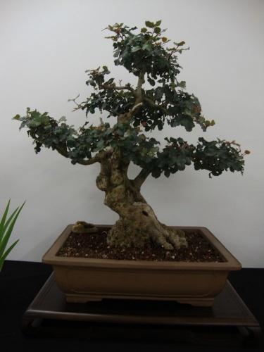 Bonsai 8704 - Bonsai Safor