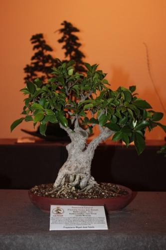 Bonsai Ficus Retusa de Miguel Jose Tejada - Acia Bonsai