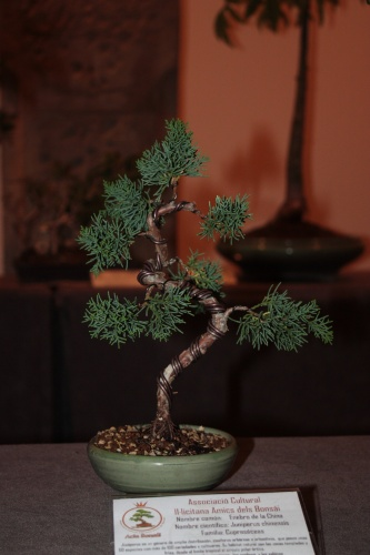 Bonsai Enebro de la China - Acia Bonsai