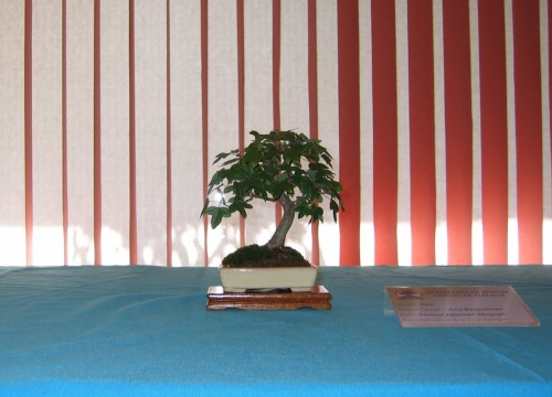 Bonsai 8904 - josegoderi