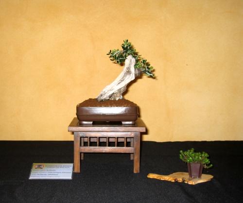 Bonsai 8916 - josegoderi