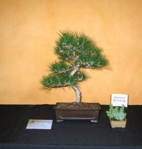 Bonsai 8920 - josegoderi