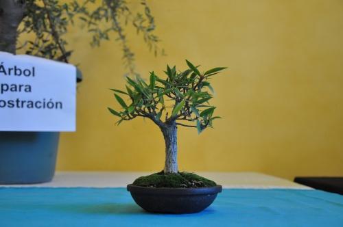 Bonsai Ficus subulata - josegoderi
