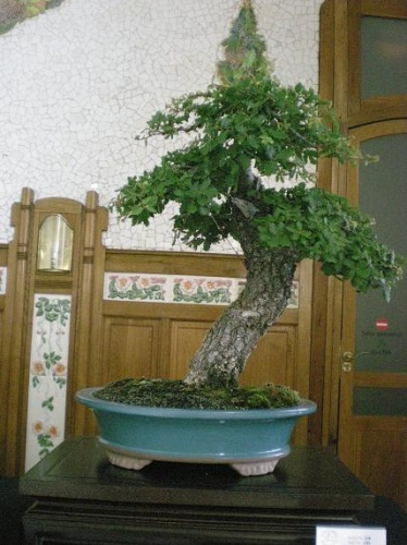Bonsai Quercus faginea - AVBONSAI