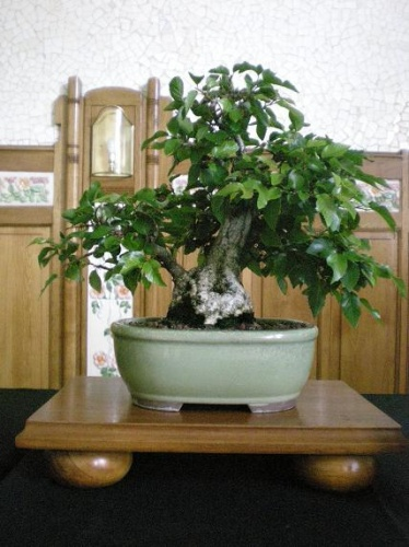 Bonsai Carpe - AVBONSAI
