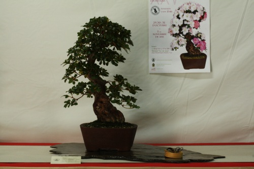Bonsai Rhododendron indicun - Cocentaina