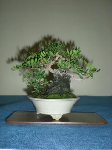 Bonsai 9672 - peniscola