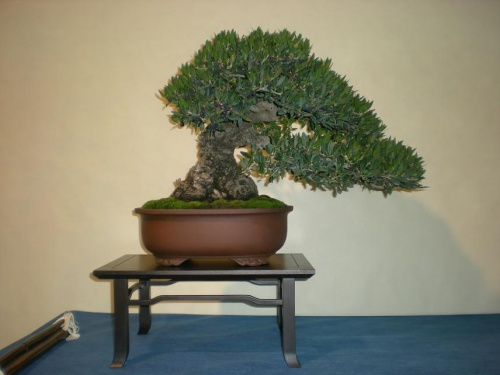 Bonsai 9704 - peniscola
