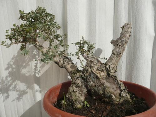 Bonsai 9752 - carmela
