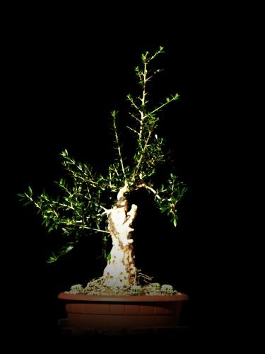 Bonsai 9764 - carmela