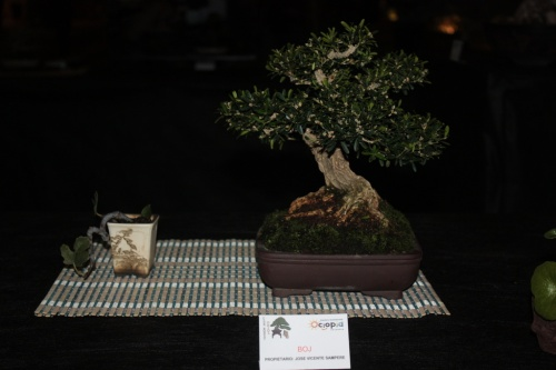 Bonsai Boj de Jose Vicente Sampere - Bonsai Oriol