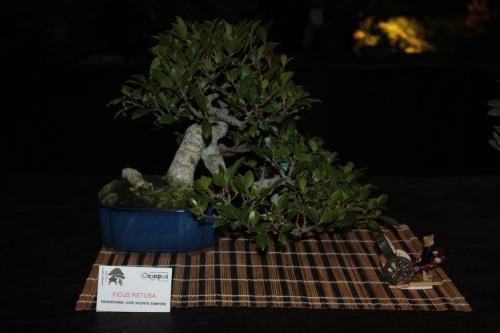 Bonsai Ficus Retusa de Jose Vicente Sampere - Bonsai Oriol