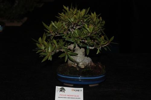 Bonsai Ficus Nerifolia de Mar Baeza Valero - Bonsai Oriol