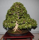 comentario bonsai