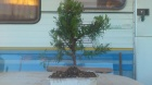 comentario bonsai