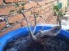 Ficus callejero