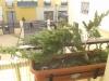 Ayuda diseño bonsai