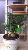 Segundo bonsai