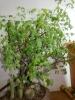 Bonsai Copal chino o santo
