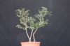 Olea europaea - Acebuche1