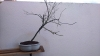 Arce palmatum