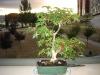 mi primer bonsai