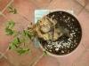 olivo en evolucion