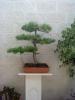 pino alepensis