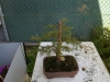 Picea del Curso de bonsai